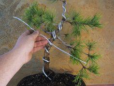Wiring - as forming / shaping Bonsai Wire, Bonsai Soil, Bonsai Plants, Pot Plants, Garden Shrubs, Bonsai Garden, Garden Pots, Red Maple Bonsai, Juniper Bonsai