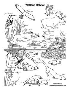 This portrays a common wetland food web. You can see the