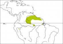 Plumbeous Euphonia (Euphonia plumbea)