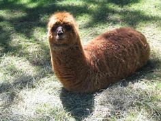 sitting alpaca .... funny! :>