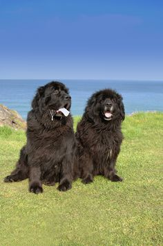 Learn about the fascinating history of the Newfoundland on today's BBS Breed Spotlight! #dogs #newfoundland #newfie // BestBullySticks.com