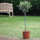 oliivipuu.jpg&width=140&height=250