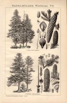 1898 Pine Trees Antique Print Vintage Lithograph by Craftissimo