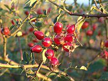 Le cynorrhodon ou cynorhodon est, sur le plan botanique, le faux-fruit provenant de la transformation du réceptacle floral du rosier et de l'églantier, et plus généralement des plantes du genre Rosa, de la famille des Rosacées. Les fruits proprement dits des rosiers sont en fait les akènes situés à l'intérieur.   Cynorrhodons d'un églantier. Le cynorrhodon est appelé vulgairement « gratte-cul », car il fournit du poil à gratter. Le cynorrhodon est parfois aussi appelé « gousson ».