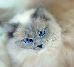 Gato cinza do olho azul.