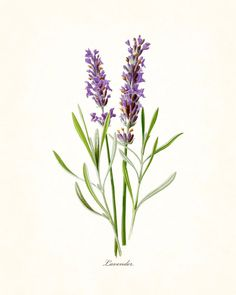 FRENCH LAVENDER GICLEE CANVAS PRINT This print features an antique botanical illustration which has been digitally enhanced and added to a light neutral background. 8x10 prints have a small white bord