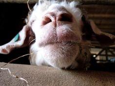 Goat. by HanaLou, via Flickr