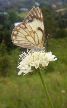 Damien Coulson Scabiosa Columbaria, Wild Flowers, Insects, Garden, Plants, Animals, Garten, Animales, Animaux