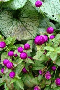Gomphrena 'Buddy Purple', the annual flower with Jack Frost Brunnera...photo by Jan Johnsen