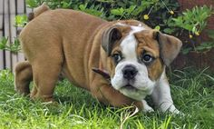 Angus the Bulldog