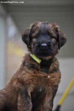 Briard Dog Puppy   Briard(France)