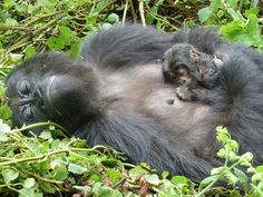 Gorilas de montaña durmiendo plácidamente
