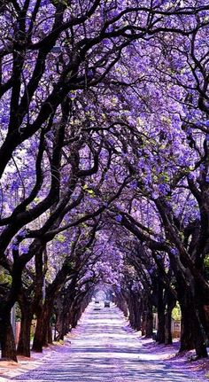 Damn...I'd love to eat, sleep and bathe right beneath there--I'd never move! Does it have a wonderful scent too? That would almost be too much ecstasy to bear....--Pia (Jacaranda Tree Tunnel, Sydney, Australia)