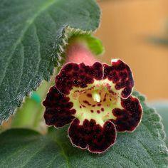 Gesneriaceae, Achimenes, Smithiantha | Kohleria