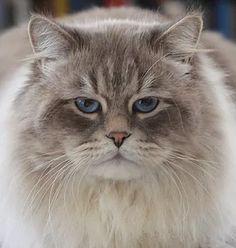 Kuz'kin Dom Polkovnik Byron, Neva Masquerade Siberian Cat
