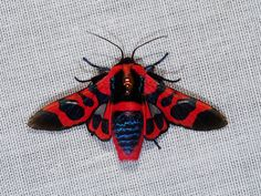Glanycus coendersi - Moths of the genus Glanycus (Thyrididae - Striglininae) ranges from China and India to Borneo.