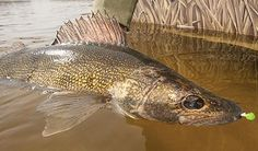 How to Catch Monster Walleyes on Hometown Waters | Field & Stream