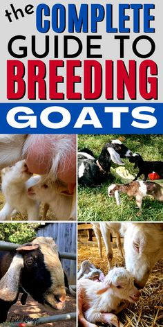 If you raise goats at some point you will need to breed them in order to get milk or more goats! Learn everything you need to know about breeding goats including gestation length, heat, breeding times, and more! Breeding Goats, Goat Fence, Sheep Pen, Goat Toys, Show Goats, Nubian Goat, Goat Care, Boer Goats, Nigerian Dwarf Goats