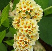 Show product details for Golden Glow Buddleia Plant