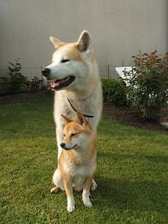Shiba inu (one i like) and akita inu to give u a size comparison I like the little one