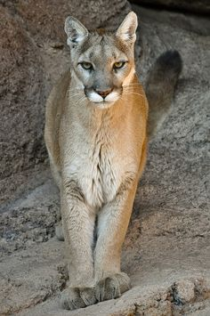 Mountain Lion by D. Bates, via Flickr