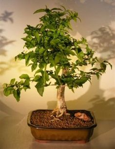 Image result for crown of thorns bonsai