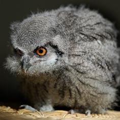 Google Image Result for http://gb.fotolibra.com/images/previews/332934-baby-white-faced-scops-owl.jpeg