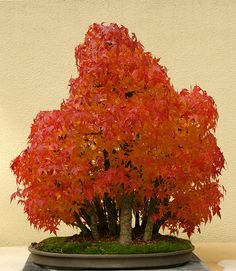 Japanese Maple Bonsai - Fall Colors On A Different Scale The purposes of bonsai are primarily contemplation (for the viewer) and the pleasant exercise of effort and ingenuity for the grower. Bonsai practice focuses on long-term cultivation and shaping of one or more small trees growing in a container.