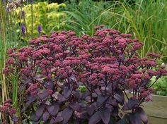 SEDUM TELEPHIUM 'Purple Emperor': These tall sedums have sturdy stems to support the massive flower heads which develop in the summer and burst into bloom in the fall for 12 weeks. If left standing, they provide winter interest. Purple Plants, Sun Plants, Foliage Plants, Winter Plants, Winter Garden, Garden Soil, Garden Plants, Outdoor Gardens, Outdoor Plants