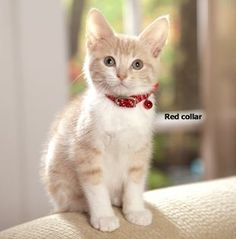 Coastal Pet - Adjustable Reflective Kitten Safety Collars w/ Bell,Color Red - http://www.petsupplyliquidators.com/coastal-pet-adjustable-reflective-kitten-safety-collars-w-bellcolor-red/