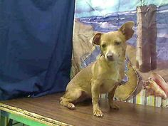 ID#A445420 I am described as a female, tan Chihuahua - Smooth Coated mix. The shelter thinks I am about 6 months old I have been at the shelter since Jan 30, 2015 and I may be available for adoption on Feb 06, 2015 at 1:15PM. If you are interested in me, please visit me before this date. If you think I am your missing pet, please call or visit right away. Otherwise, please visit me in person as shelter staff are busy caring for my needs.