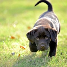 Within Hours, Stop Barking, Growling, Pulling on the Leash and Constant Jumping up! - retriever #labrador #labradorretriever
