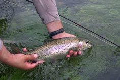 Rainbow trout in Arkansas waters.