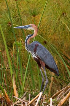 Goliath Heron (Ardea goliath) largest heron in the family Ardeidae. South Africa