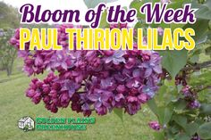 Paul Thirion Lilacs - Bloom of the Week at Golden Plains Greenhouses (Kleefeld, Manitoba) French Lilac, Lilacs, Greenhouses, Hedges, Bloom, Flowers, Plants, Green Houses, Glass House