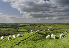 Sheep on Old Winchester Hill.