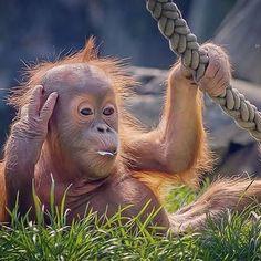 """Ini salah satu alasan kenapa IF jatuh cinta untuk pertama kalinya sama satwa yang satu ini """"Orangutan"""" mereka tak kalah lucu dengan Panda…"""