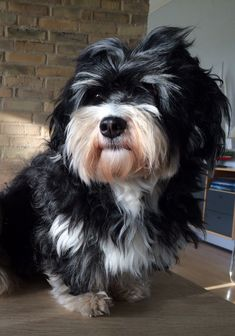 My cute dog - Bichon Havanais - Havanese - Bonfires Fantasy Royal Dutch aka Mossman