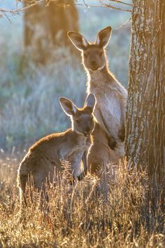 RED KANGAROO....the