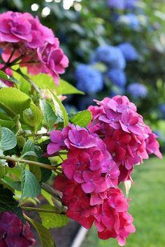 Raspberry colored hydrangeas - such a beautiful color!