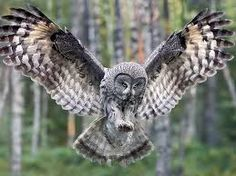 Image result for owl in flight