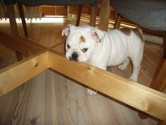 I know a little bulldog that did this to my dining room table...