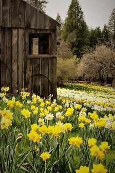Country Spring - Old barn and daffodils-I love it! Spring coming up! Country Barns, Old Barns, Country Living, Country Roads, Cenas Do Interior, Country Scenes, Mellow Yellow, Daffodils, Daffodil Flowers
