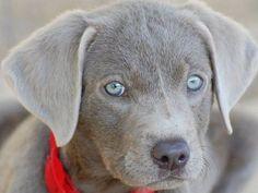 Ein Jagdhund mit blauen Augen