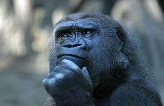 How does language affect our thinking? Do we even need a language to think? How do deaf people think if they never heard speech? Do animals think without language? I researched this to try to answer these questions. Primates, Mammals, Georg Christoph Lichtenberg, Animal Pictures, Funny Pictures, Funny Pics, Funny Animals, Cute Animals, Wild Animals