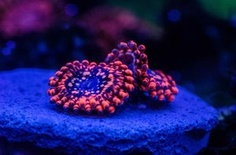 Utter Chaos Paly - LIVE CORAL - HAVE (from slash swap fall 2015) Saltwater Tank, Saltwater Aquarium, Salt Water Fish, Salt And Water, Cute Small Animals, Marine Aquarium, Live Coral, Water Life, Fishing Humor