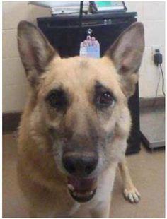 APPLE VALLEY, CA.....*** #SOS!! #URGENT ON TODAY'S #KILL LIST!!!!!*** ID: #125768 ***AVAILABLE 9-5-13*** German Shepherd Dog Mix: Large • Adult • Male (760) 240-7000 x 7555 County Shelter San Bernardino Dogs dayinn https://www.facebook.com/photo.php?fbid=367421760055194&set=a.112142625583110.13921.100003621203164
