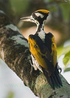 White-naped Woodpecker (Chrysocolaptes festivus) Found in India and Sri Lanka.orientalbirdimages.org