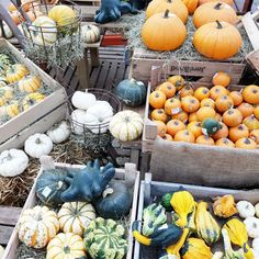 Pumpkin lover #pumkin #fall #automne #citrouille #jackolantern #jackpumkin #pumkinjack