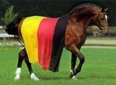 Argentinus - Hannoverian stallion in Germany